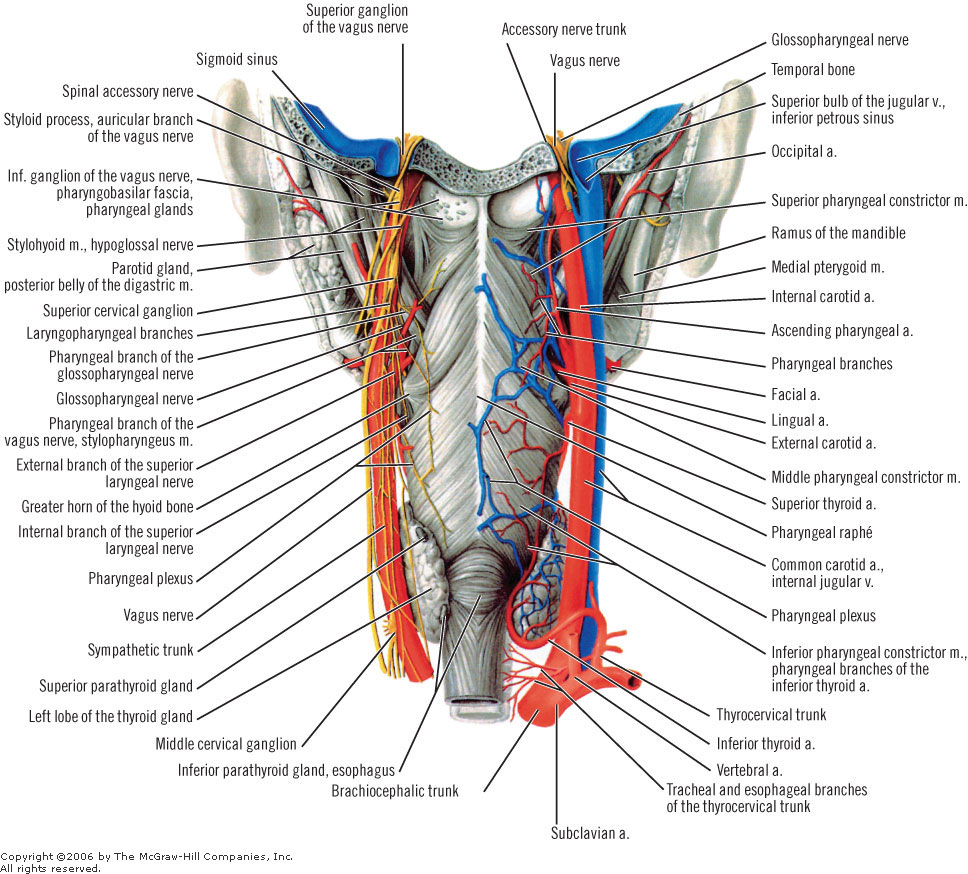 Functional Thyroid in Anatomical Context of Cervical Spine