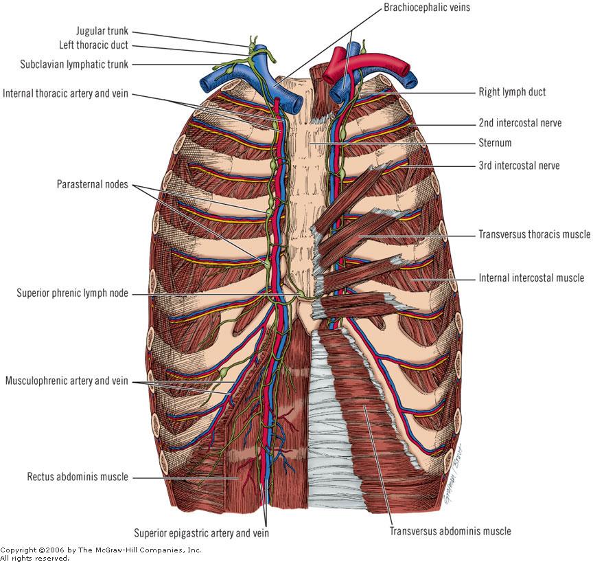 Transverse Thoracic Muscles Transversus thoracis muscleTransverse Thoracic Muscle